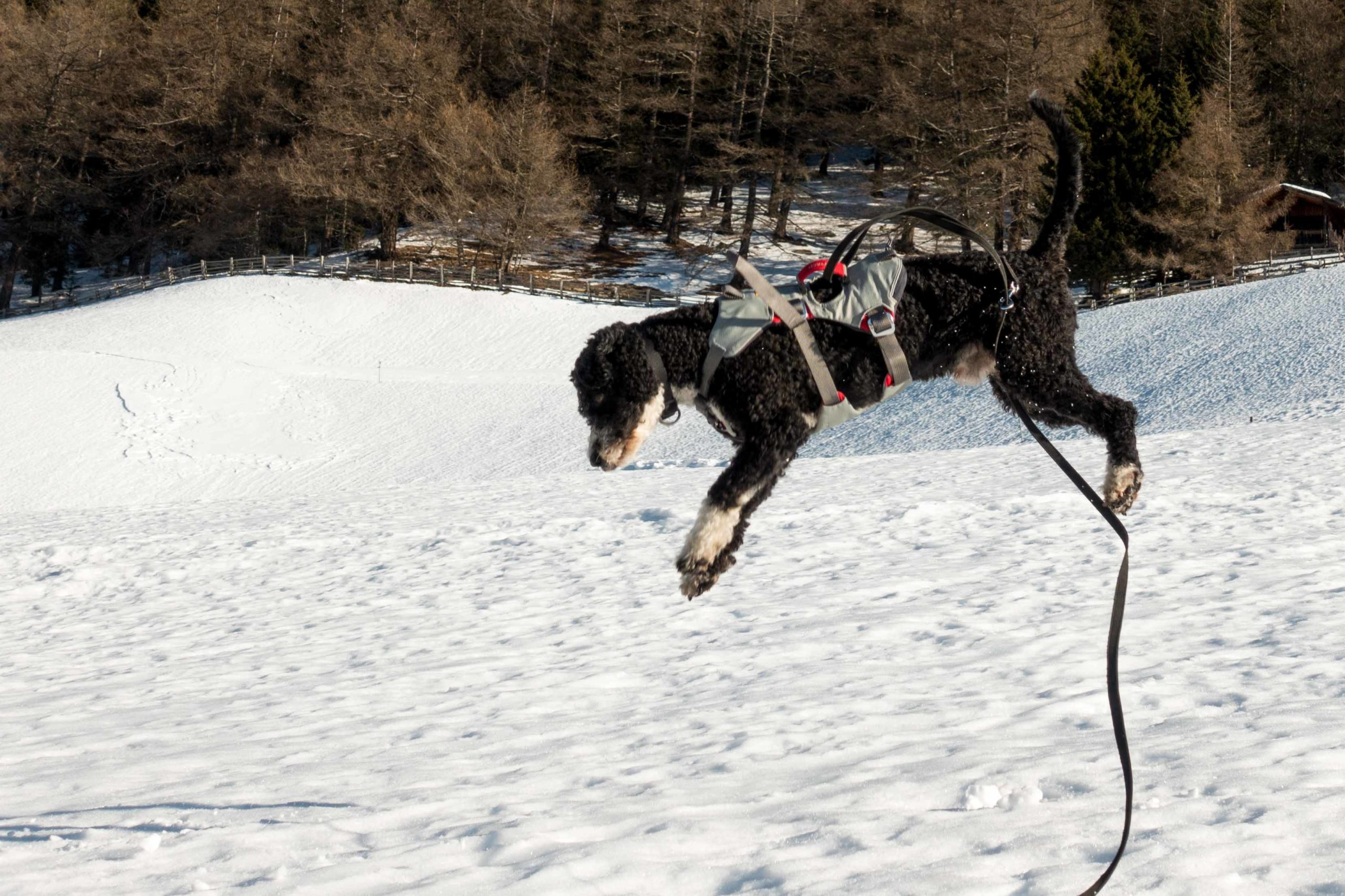 La Pasión Turka Indiana Jones (Indi) unterwegs im Schnee